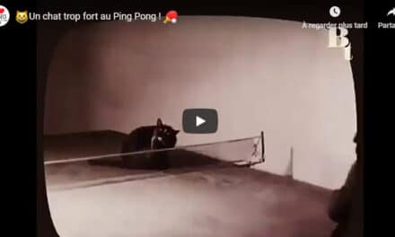 Les chats jouent au Ping Pong !